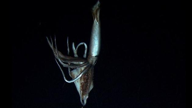 Giant Squid filmed